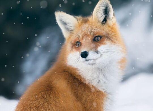 fox-header